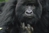 Gerry Ellis - Mountain Gorilla showing finger lost to poacher's trap, Virunga Mountains, DRC