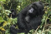 Gerry Ellis - Mountain Gorilla female resting, Virunga Mountains, DRC