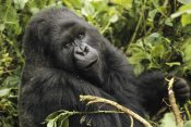 Gerry Ellis - Mountain Gorilla looking at camera, Virunga Mountains, DRC