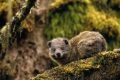 Gerry Ellis - Eastern Tree Hyrax in Hagenia Tree, Virunga Mountain, Rwanda