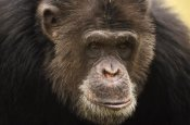 Gerry Ellis - Chimpanzee male portrait, Washington Park Zoo