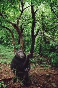 Gerry Ellis - Chimpanzee, Gombe Stream National Park, Tanzania