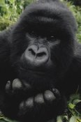 Gerry Ellis - Mountain Gorilla juvenile portrait, Virunga Mountains, DRC
