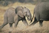 Gerry Ellis - African Elephant baby following mother, Amboseli National Park, Kenya