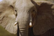 Gerry Ellis - African Elephant close up, Amboseli National Park, Kenya
