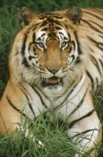 Gerry Ellis - Bengal Tiger portrait, Hilo Zoo, Hawaii, native to India and southeast Asia