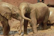 Gerry Ellis - African Elephant orphans playing in mud, David Sheldrick Wildlife Trust, Kenya
