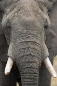 Gerry Ellis - African Elephant face, Tarangire National Park, Tanzania