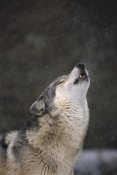 Gerry Ellis - Timber Wolf howling, close up, Oregon Zoo, Portland