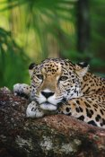 Gerry Ellis - Jaguar portrait, Belize Zoo, Belize
