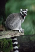 Gerry Ellis - Ring-tailed Lemur calling, Woodland Park Zoo