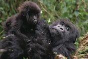 Gerry Ellis - Mountain Gorilla mom and baby, Virunga Mountains