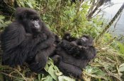 Gerry Ellis - Mountain Gorilla family resting in rainforest, Virunga Mountains