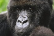 Gerry Ellis - Mountain Gorilla female portrait, Virunga Mountains, Rwanda