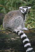 Gerry Ellis - Ring-tailed Lemur portrait, Madagascar
