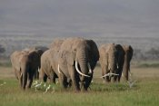 Gerry Ellis - African Elephant matriarchal herd, Amboseli National Park, Kenya