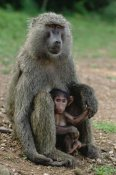 Gerry Ellis - Olive Baboon with infant, Gombe Stream National Park, Tanzania