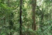 Gerry Ellis - Tropical rainforest interior, Bellenden Ker National Park, Australia