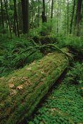 Gerry Ellis - Fir nurse log in temperate rainforest, Pacific coast, North America