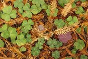 Gerry Ellis - Woodsorrel and Coast Redwood leaf litter, Pacific coast, North America