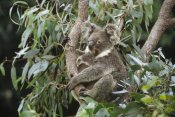 Gerry Ellis - Koala mother and three month old joey resting in tree, Australia