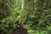 Gerry Ellis - Wilaby Creek, Olympic National Forest, Washington