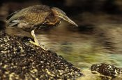 Gerry Ellis - Lava Heron fishing along shoreline, Galapagos Islands, Ecuador