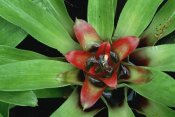 Gerry Ellis - Orange Star Bromeliad close-up, tropical Americas