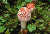 Gerry Ellis - Fly Agaric mushrooms growing on forest floor, North America