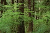 Gerry Ellis - Western Hemlock in old growth temperate rainforest, North America