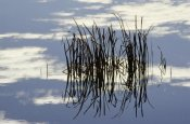 Gerry Ellis - Common Cattail blades, Malheur National Wildlife Refuge, Oregon