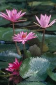 Gerry Ellis - Water Lily hybrid blossoms and lily pads, world tropics