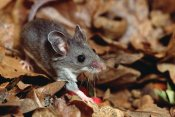 Gerry Ellis - Deer Mouse , North and Central America