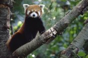 Gerry Ellis - Lesser Panda sitting on tree limb, China, Nepal, Burma