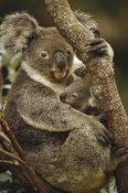 Gerry Ellis - Koala mother and joey, three month old, eastern forested Australia