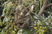 Gerry Ellis - Koala mother and three month old joey in Eucalyptus tree,  Australia
