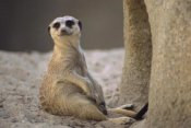 Gerry Ellis - Meerkat sitting at entrance of burrow, arid southern Africa