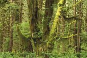 Gerry Ellis - Temperate rainforest, Queets River Valley, Olympic NP, Washington