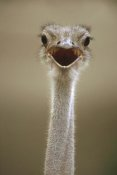 Gerry Ellis - Ostrich female calling, east Africa