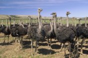 Gerry Ellis - Ostrich females in large commercial farm,  South Africa