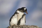 Gerry Ellis - Gentoo Penguin parent with two chicks on nest, Antarctica