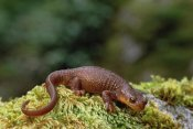 Gerry Ellis - Rough-skinned Newt portrait, Siskiyou National Forest, Oregon