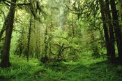 Gerry Ellis - Rainforest, Hoh River Valley, Olympic National Forest, Washington