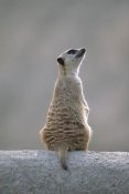 Gerry Ellis - Meerkat sunning on a rock, arid southern Africa
