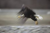 Gerry Ellis - Bald Eagle flying, Alaska