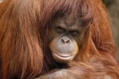 Gerry Ellis - Orangutan female portrait, Borneo