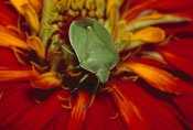 Gerry Ellis - Southern Green Stink Bug on red blossom, temperate North America