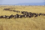 Gerry Ellis - Blue Wildebeest herd migrating, Masai Mara, Kenya