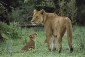 Gerry Ellis - African Lioness and cub, Moremi Wildlife Reserve,  Botswana