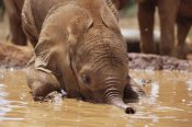 Gerry Ellis - Orphaned baby Isholta playing in mud bath, Tsavo East NP, Kenya